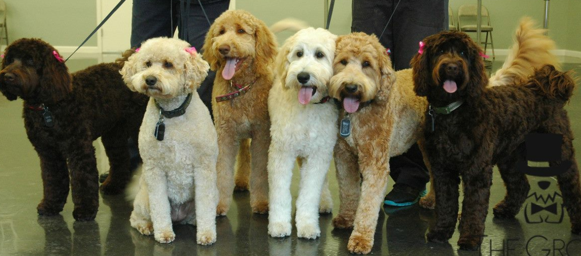 labradoodles packwood washington